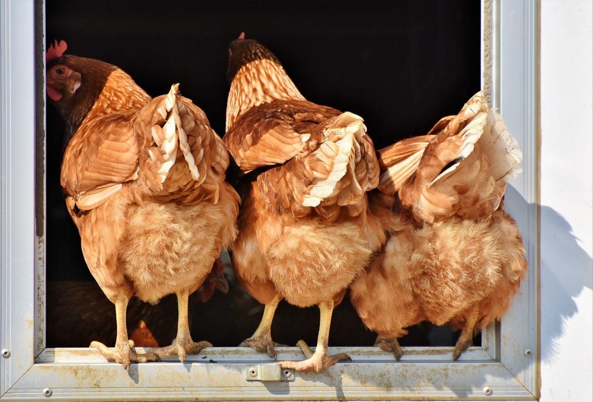 [PROJET] Élevage de poulets pour la consommation