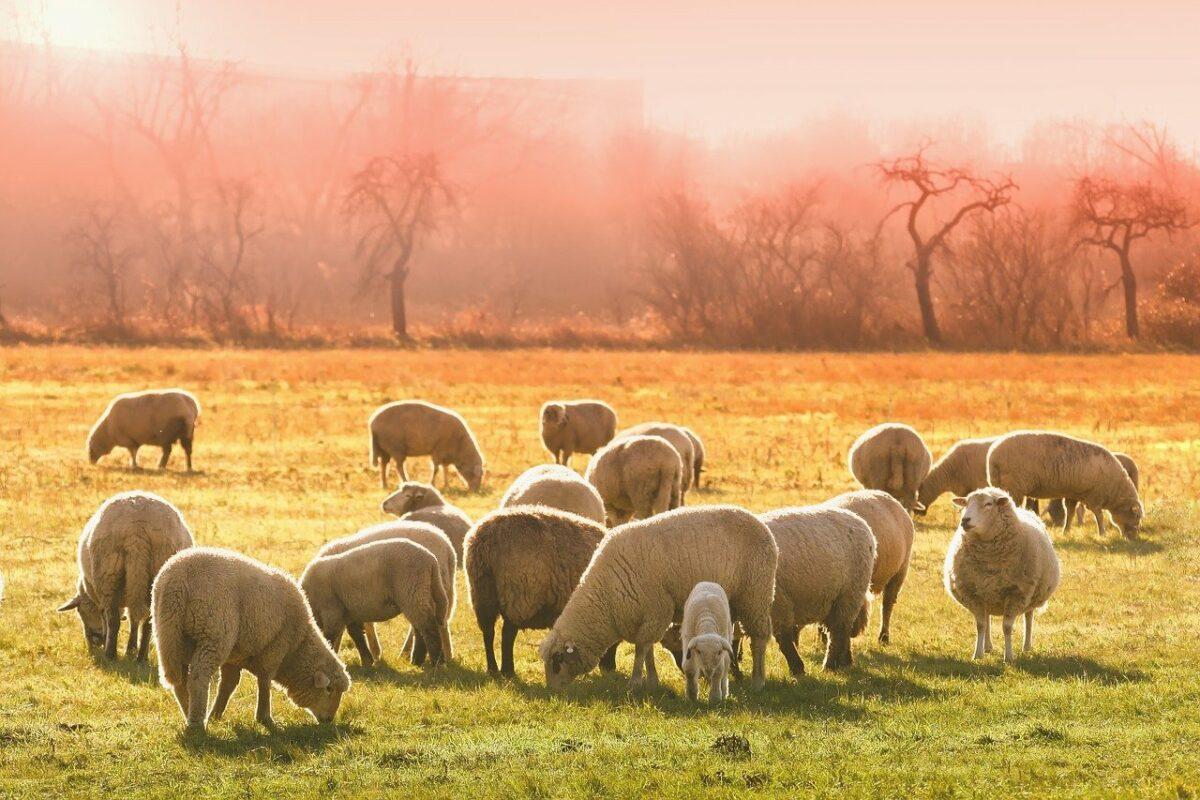 [PROJET] Valorisation filière de production de laine