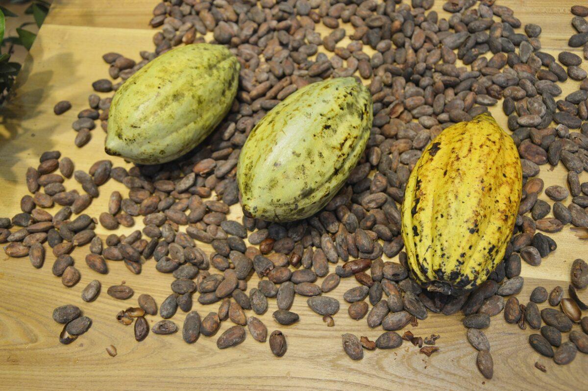 [PROJET] Transformation du cacao au Congo.
